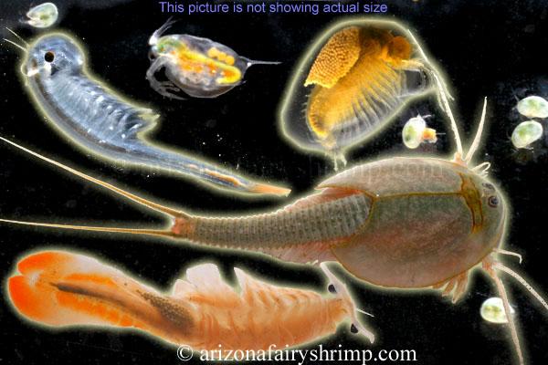 Beavertail Fairy Shrimp Eggs