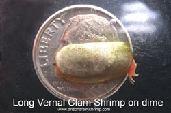 Long Vernal Clam Shrimp on a dime
